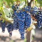 Raisins : propriétés et avantages pour la santé