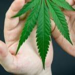 Cannabis : des effets variables sur le cerveau